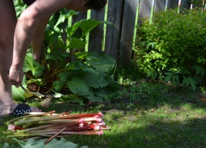 Here is Jeannie harvesting her whole crop of rhubarb for me.