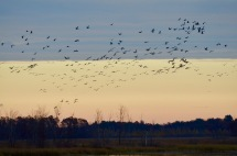 We went back to Navarino last night and arrived just in time for the show. Cranes flew in from every direction. They greeted each other enthusiastically as they gathered at the marsh after a long day of feeding in the surrounding fields.